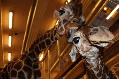 Odense Zoo Giraffer