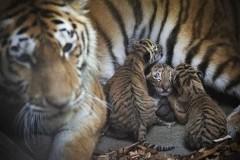 Odense Zoo Tigerunger